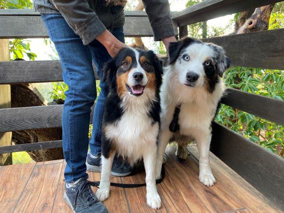 Purebred Australian Shepherd Puppies
